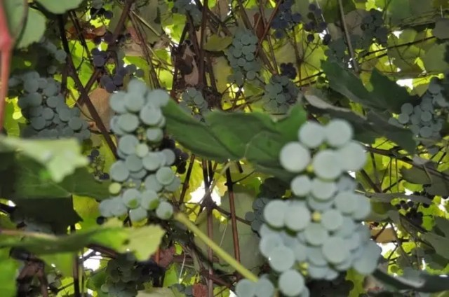 grapes running over - green thumb