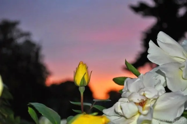 Day 135 - Sunset with Rose
