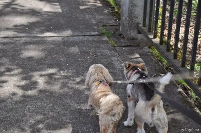 Wordless Wednesday–Roxy taking a Walk with Sam