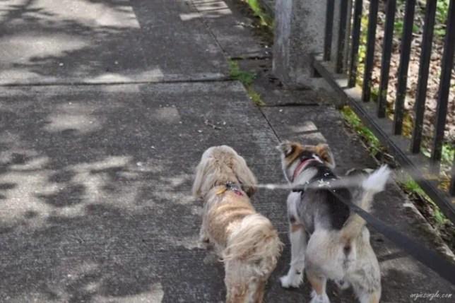 Roxy & Sam Walkies (1)