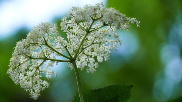 Elderflower, Hollunderbluete
