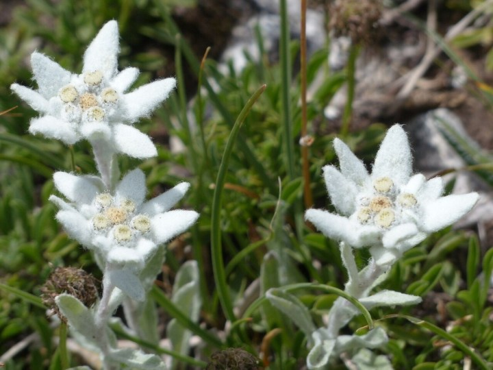 Edelweiss in South Bavaria