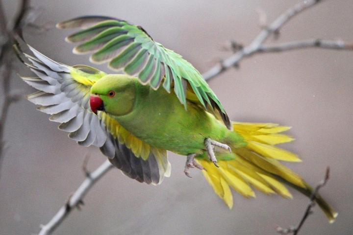 Halsbandsittich or Rose-Ringed Parakeet