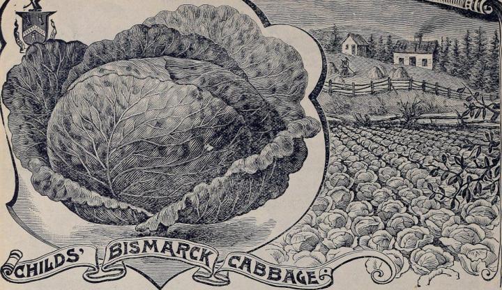 Savoy cabbage, Wirsing