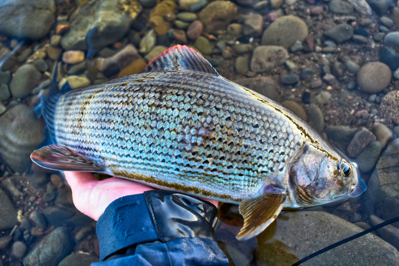 big grayling caught during fly fishing trip