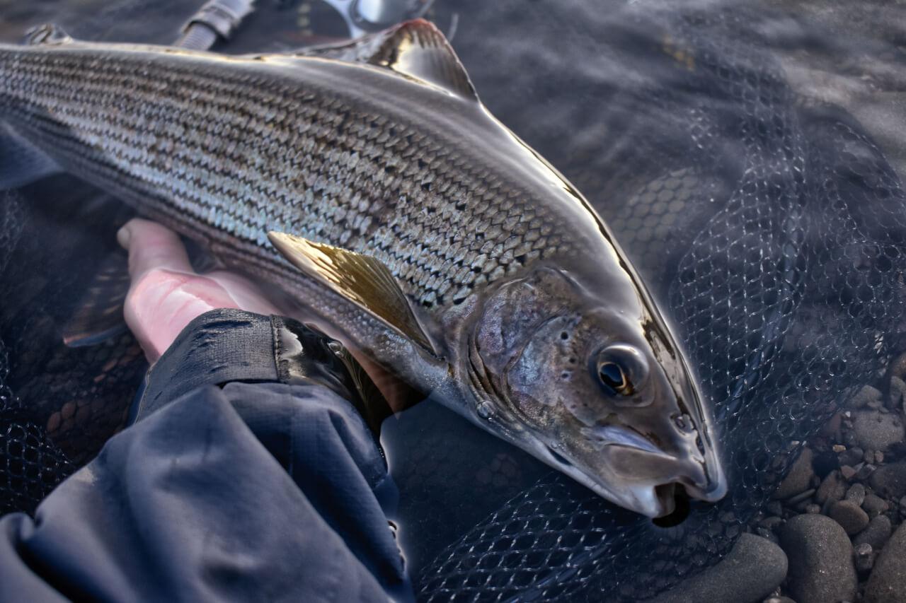 grayling season in scotland