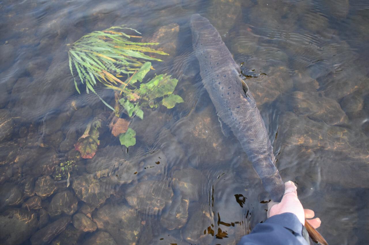 salmon season in scotland