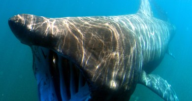 A basking shark swimming with its mouth open, filter feeding in the sea