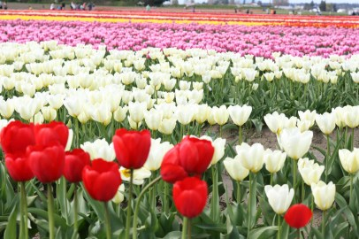 Tulip Fest Skagit Valley