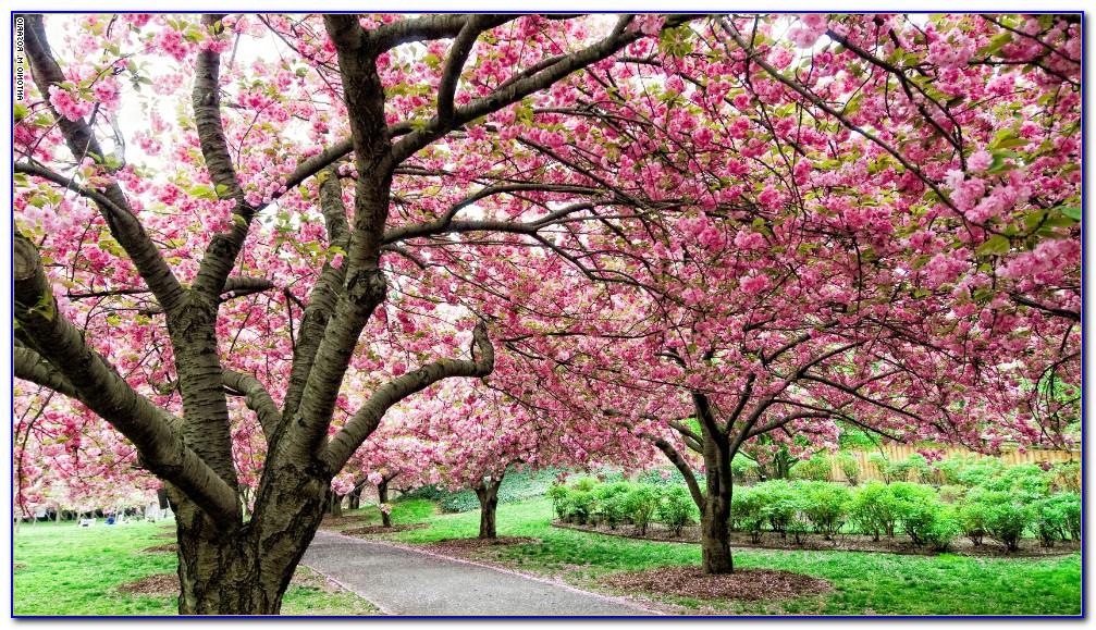 Brooklyn Botanical Garden Cherry Blossom Festival 2014