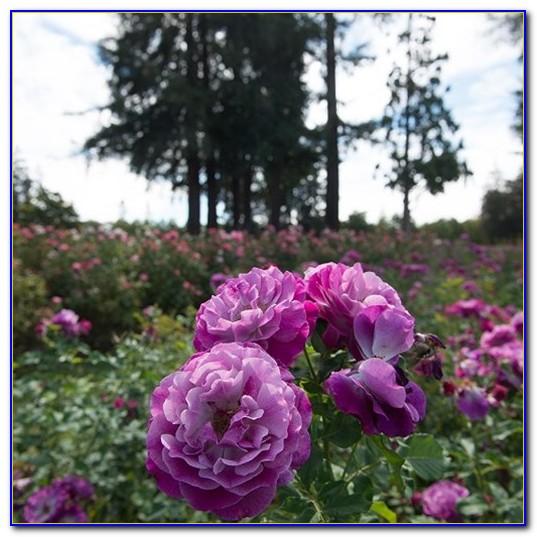 San Jose Municipal Rose Garden Best Time To Visit