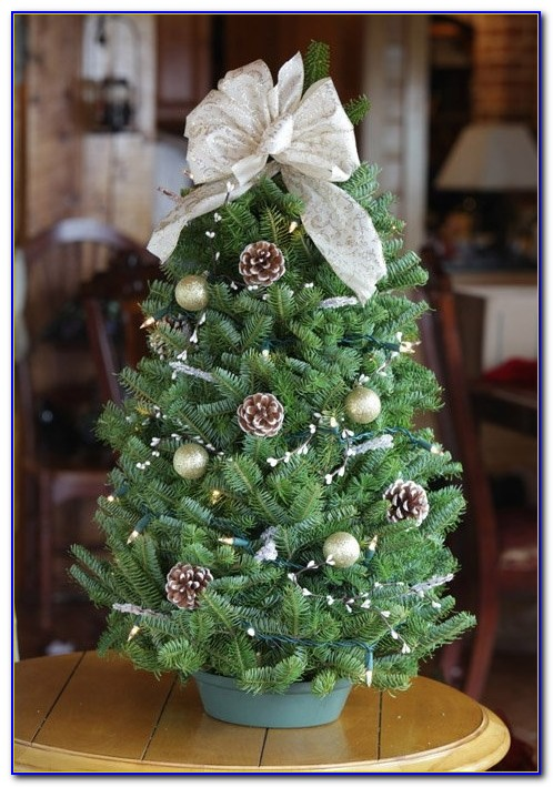 Live Tabletop Christmas Tree Amazon