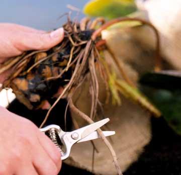 6 bước trồng hoa Súng cực 'đỉnh' - 4