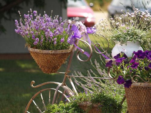 Học cách trồng oải hương tím ngát vườn nhà - 5