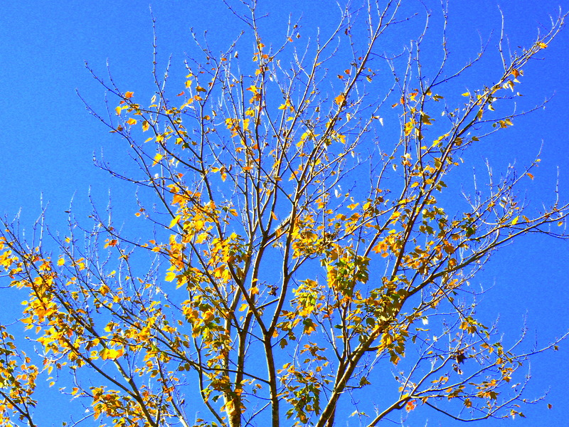 Yellow leaves on a blue sky
