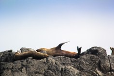 Seals sunbathing on Montague Island