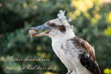 Mother Kookaburra