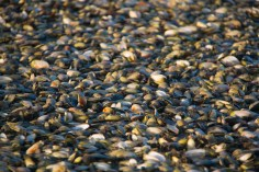 There were millions of pippy shells on the black kiwi sand bottom.