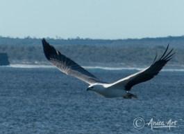 Sea Eagle at Bendalong