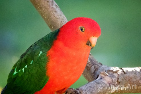 King Parrot in the tree