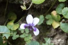 Native Violet