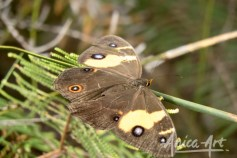 Swordgrass brown butterfly