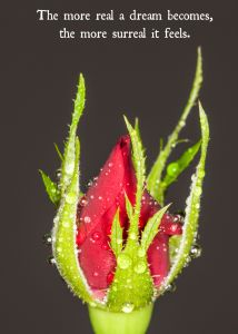 Rose bud macro shot sllose up