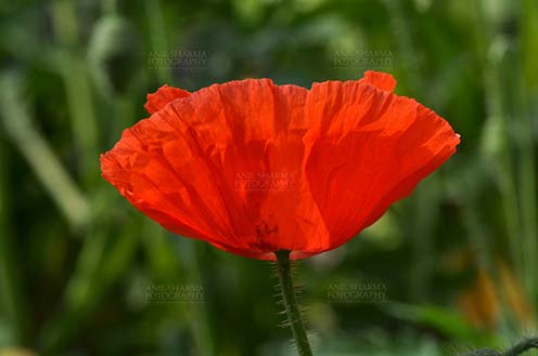 Flowers  Poppy Flowers  Papaver oideae    Flowers  Poppy Flowers     Flowers  Poppy Flowers  Papaver oideae    Beautiful Red Color Poppy   Papaver oideae