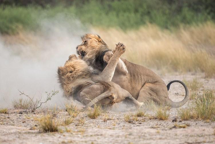 Lion - Mpaya - Kgalagadi Transfrontier Park - Botswana