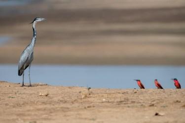 Heron-et-guepiers-1