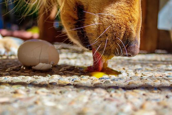 cachorro pode comer ovo de codorna cozido