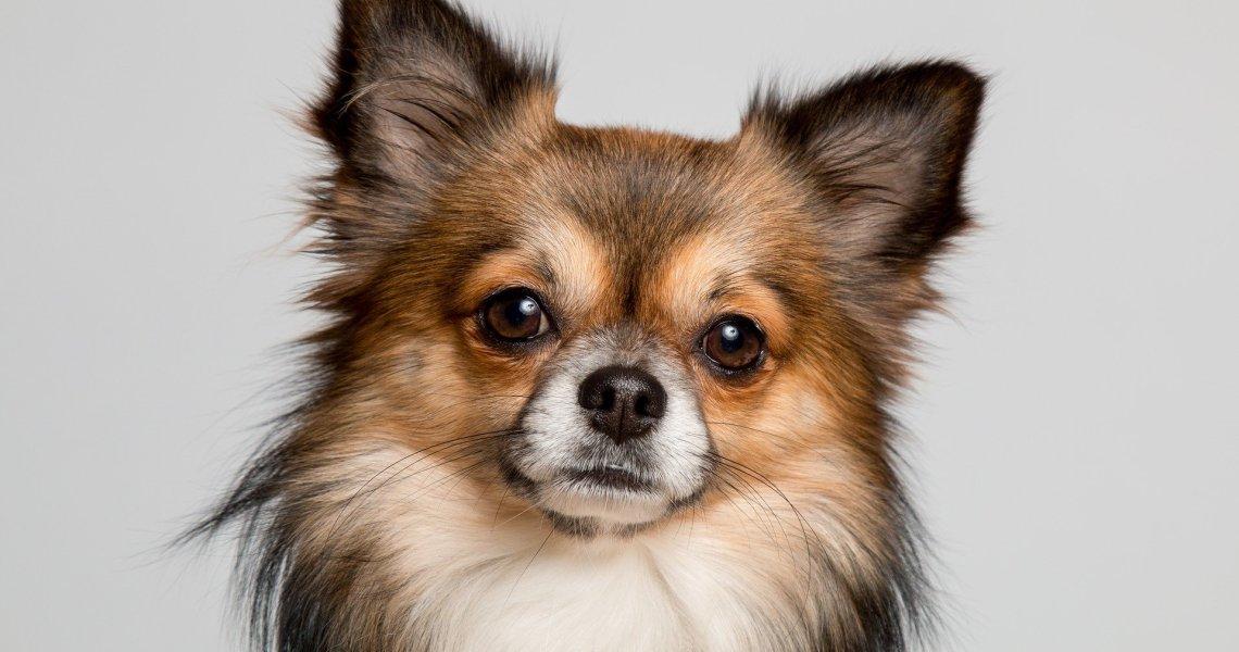 Curiosidades da raça PUG Chihuahua