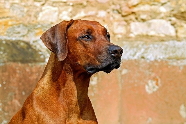Cão de guarda do brasil