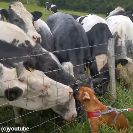 まるで「アイドルの握手会」状態!何頭もの牛たちがボクサー犬にメロメロ