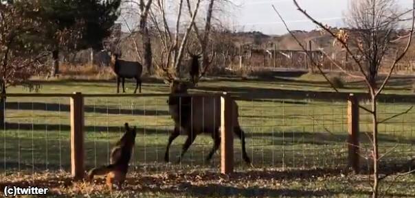 ジャーマンシェパードと雄鹿のたわむれ「こっち、こっち~。つかまえてみてよ!」
