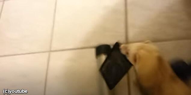 飼い主のポケットから財布を取るフェレット
