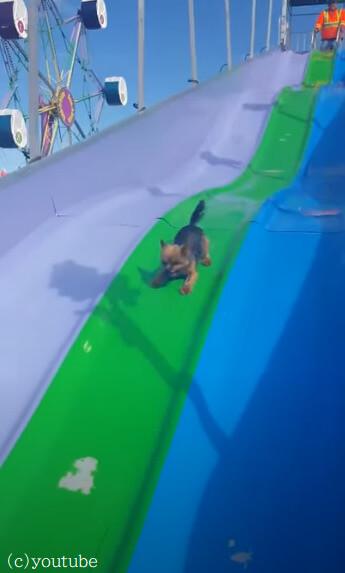 【滑るの楽しい!】自力で階段を昇ってウォータースライダーを楽しむ小型犬
