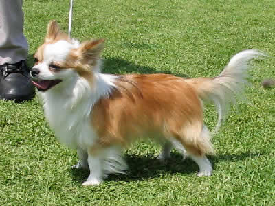 long haired chihuahua chihuahua dog breed guide information and pictures