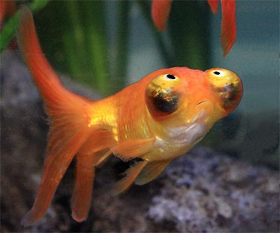 Image result for celestial goldfish