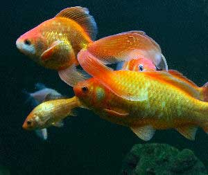 Goldfish Care Fancy Goldfish And Goldfish Diseases Guide