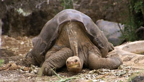 [Rare Animals] Pinta Island tortoise, Pinta giant tortoise (Chelonoidis nigra abingdonii); Image ONLY