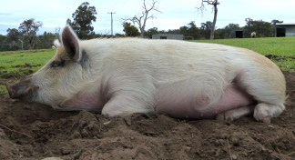 Nobody knows how to relax quite like a pig