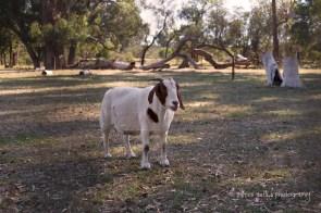 Goats 12