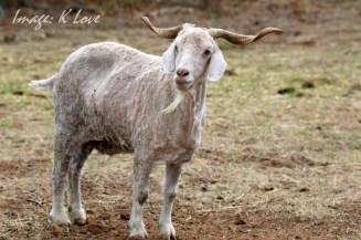 Sheared Shaggy!