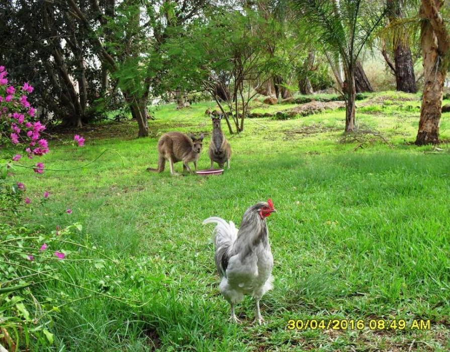 chooky-with-kangas