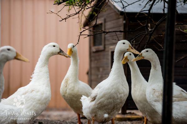 ducks-08