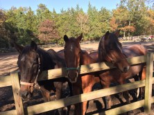 Krista (left), Lightening (middle) and Star (right) lined up at the fence as the three best friends. Photo/Sarah Hockel