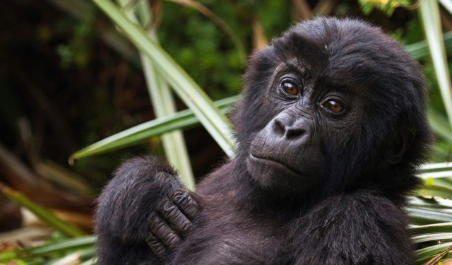 Eastern Lowland Gorillas - Facts and Habitat Information