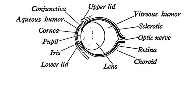 Eye Structures Front And Side Views