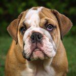 The Miniature Bulldog Animal Corner